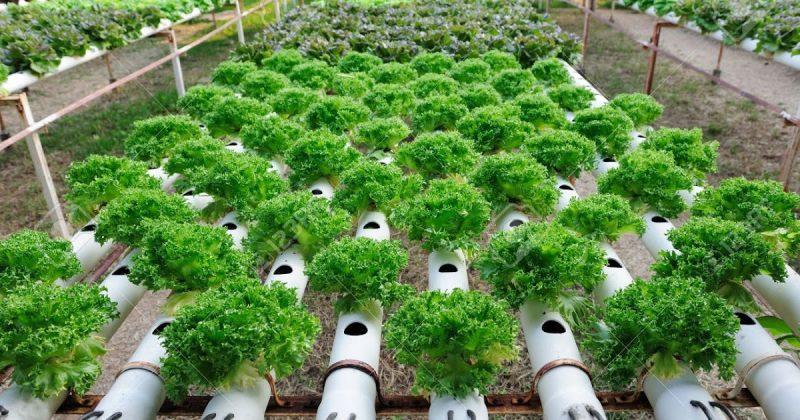 Kelebiha menanam Dengan metode hidroponik