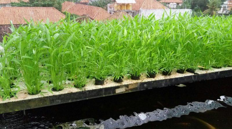 Perawatan tanaman kangkung