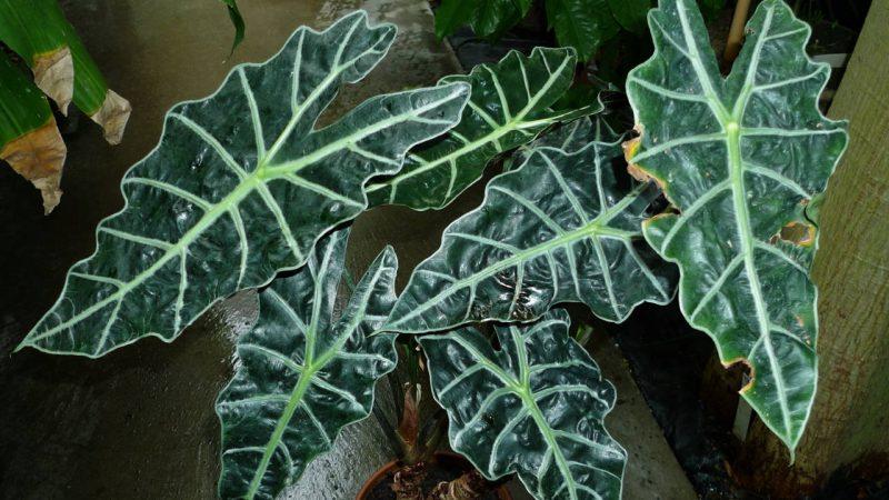 daun alokasia