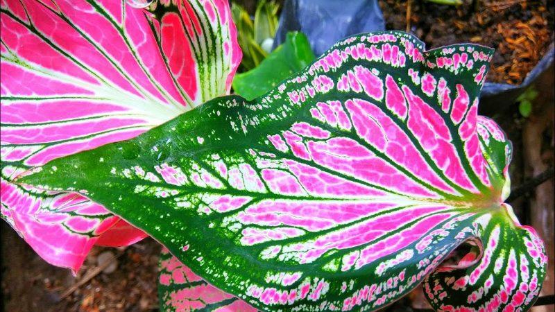Jenis jenis tanaman hias daun
