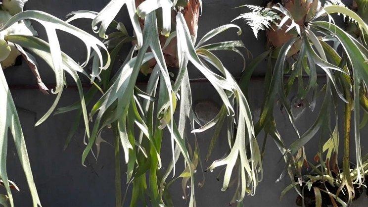 Tanaman hias daun tanduk rusa