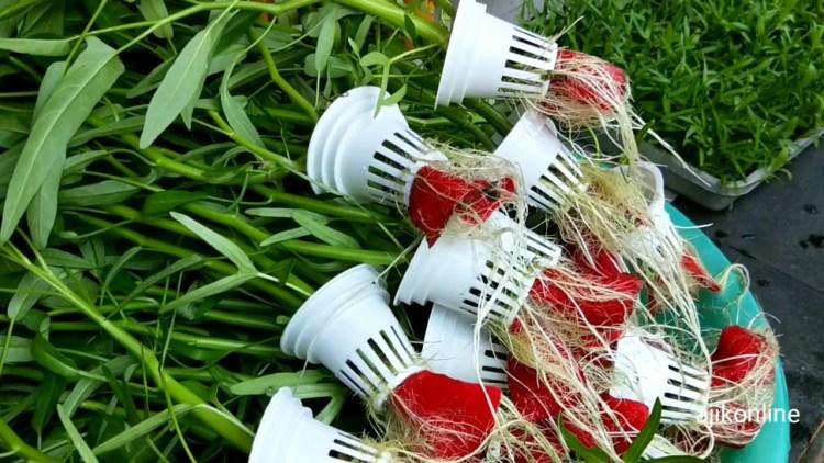 peralatan menanam kangkung hidroponik