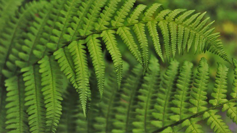 Bagian bagian penting tumbuhan paku