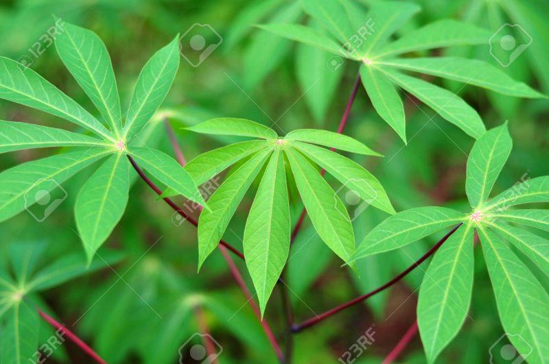Struktur tumbuhan monokotil