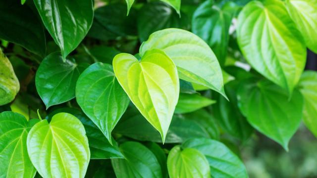 Manfaat daun sirih hijau
