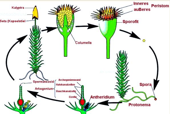 Metagenesis tumbuhan paku dan lumut