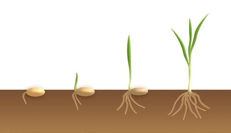 Struktur akar tumbuhan monokotil
