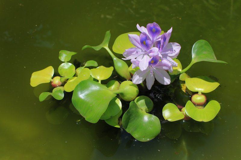Contoh tumbuhan hidrofis