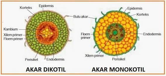 Struktur Akar Tumbuhan Monokotil Terlengkap Gambar