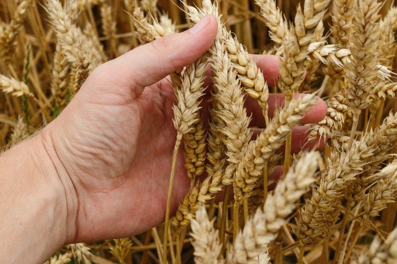 Panen dan Pasca Panen tanaman pangan