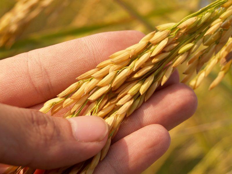 jenis tanaman pangan Tanaman Padi ( Oryza sativa )