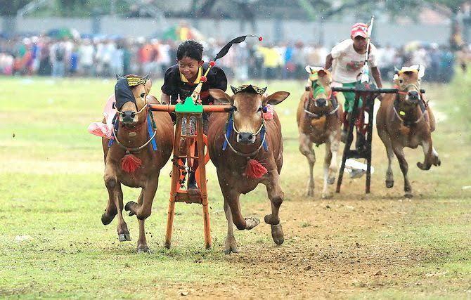 Pertandingan kerapan sapi madura