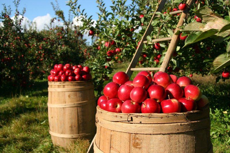 Langkah - langkah budidaya tanaman pangan